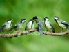 stock-photo-2251030-great-tit-family-being-fed-by-mother